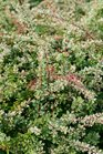 /Images/johnsonnursery/product-images/berberis_sunjoy_sequins_4_website_ho6ogf8dk.jpg