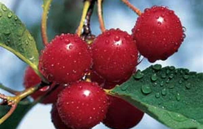 Traverse City is Cherry Capital of USA