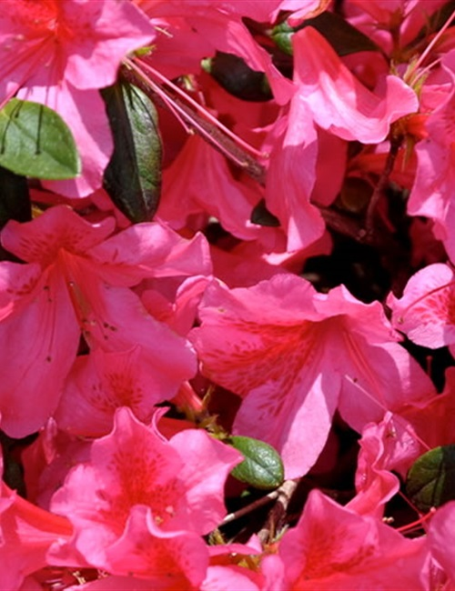 Azalea Southern Charm Rhododendron 'Southern Charm'