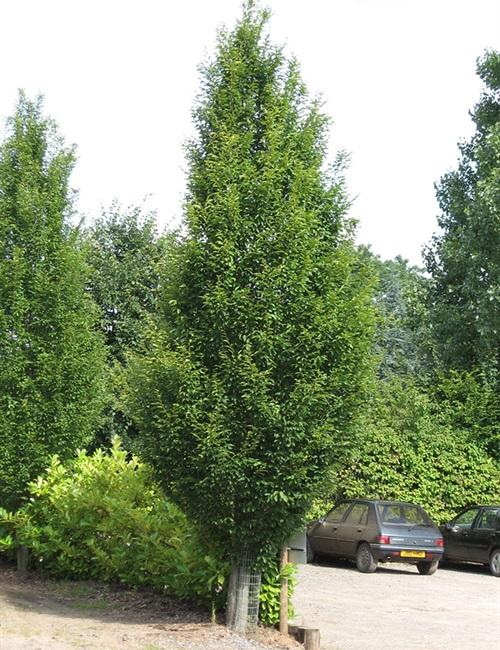 European Hornbeam  'Fastigiata' Carpinus betulus 'Fastigiata'