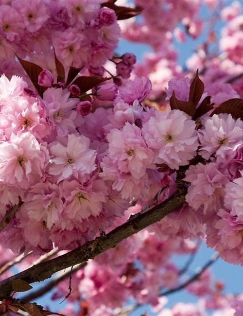 Cherry 'Kwanzan' Prunus serrulata 'Kwanzan'