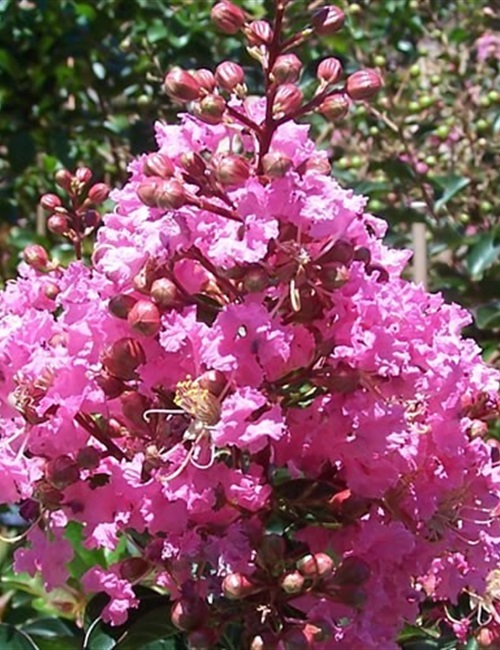 Crape Myrtle Sioux Lagerstroemia 'Sioux'