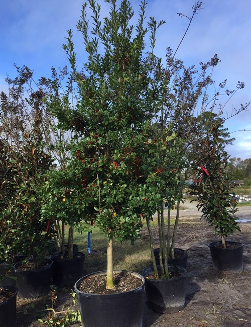 East Palatka Holly Ilex x attenuata 'East Palatka'