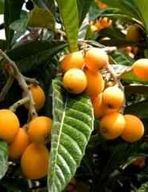 Loquat Eriobotrya japonica