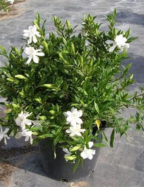 Gardenia Frost Proof Gardenia jasminoides 'Frostproof'
