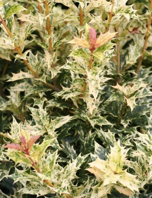Osmanthus Goshiki Osmanthus heterophyllus 'Goshiki'