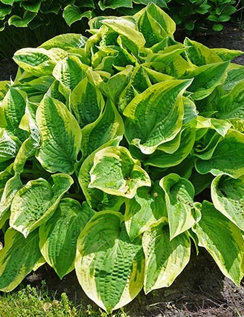 Hosta 'Wide Brim'  Hosta x 'Wide Brim'
