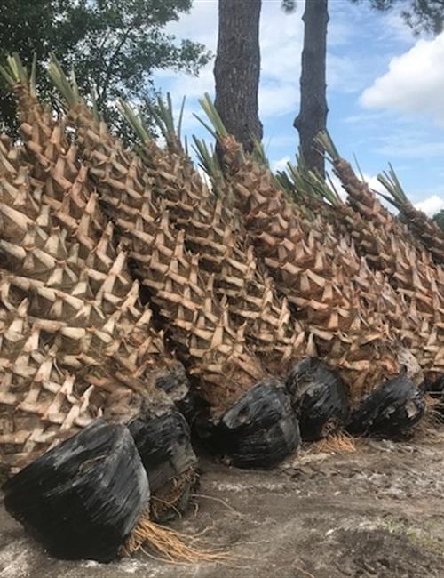 Palm Sabal Palmetto Sabal Palmetto