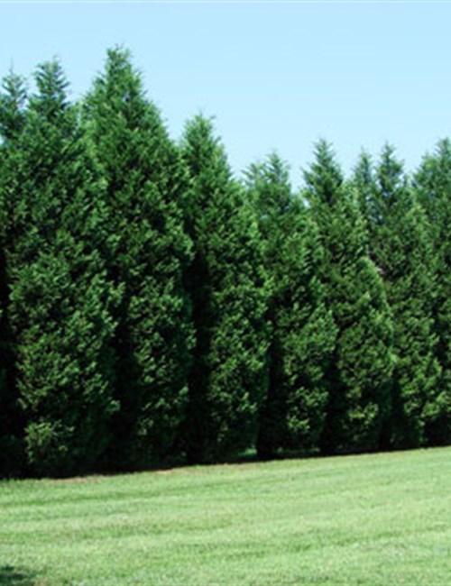 Cypress Leyland Cupressus × leylandii