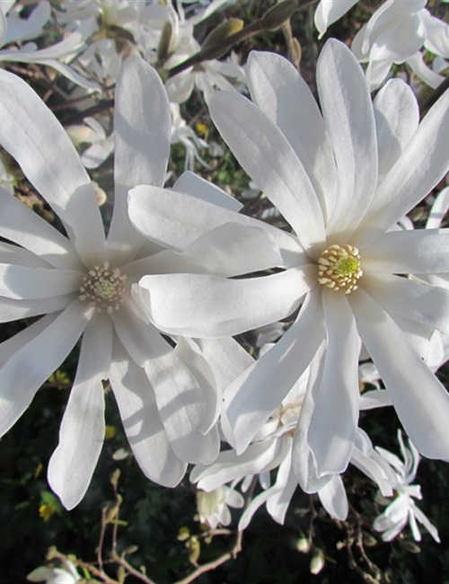 Magnolia stellata 'Royal Star' Magnolia 'Royal Star'
