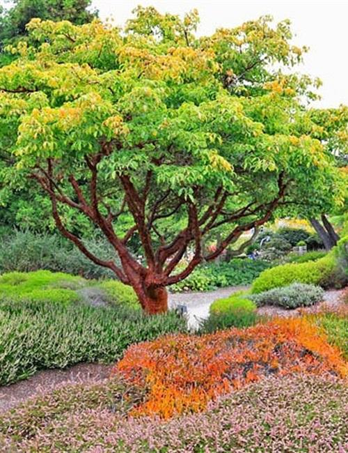 Paperbark Maple Acer griseum 'Paperbark Maple'