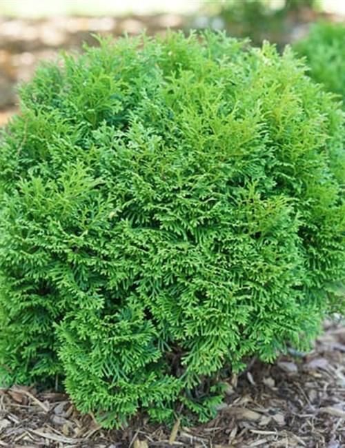 Arborvitae 'Tiny Tot' Arborvitae Thuja occidentalis 'Tiny Tot'