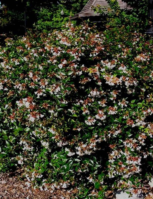 Abelia - Grandiflora Abelia x grandiflora