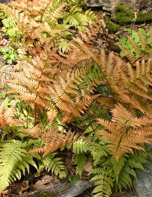 Fern, Autumn Dryopteris erythrosora