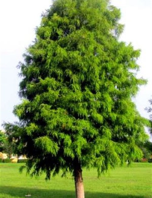 Cypress Bald Taxodium distichum