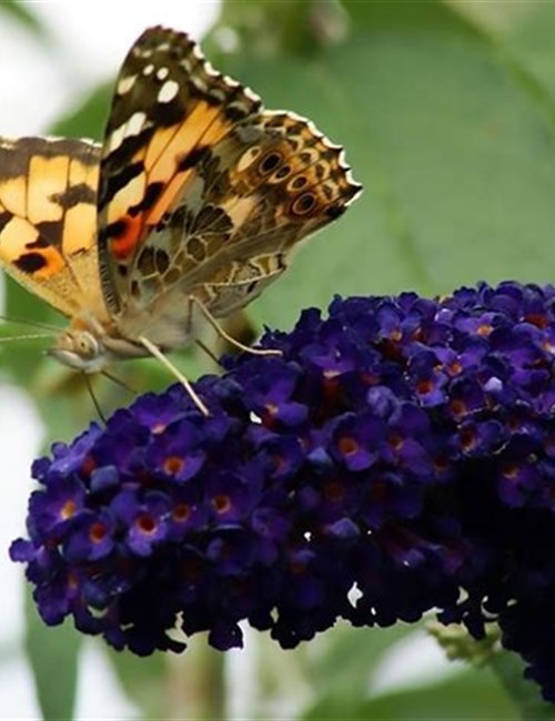 Butterfly Bush Buzz Midnight Buddleja BUZZ™
