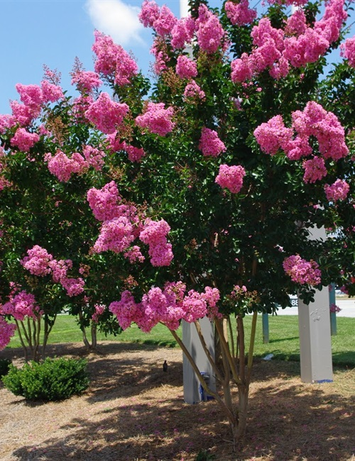 Crape Myrtle 'Pink Velour' Lagerstroemia indica 'Pink Velour'