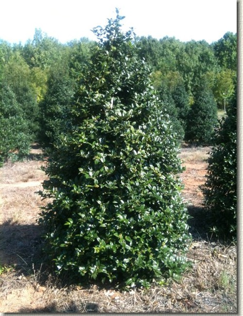 Mary Nell Holly Ilex x 'Mary Nell'