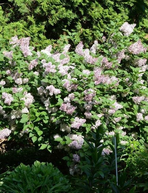 Lilac Miss Kim Syringa pubescens subsp. patula 'Miss Kim'