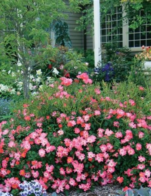 Rose Drift Pink PP#18874 Rosa 'Meijocos' PP#18874 - Pink Drift