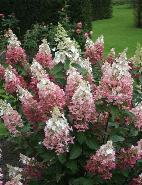 Hydrangea Pinky Winky PP#16,166 Hydrangea paniculata 'DVP Pinky' PP#16,166