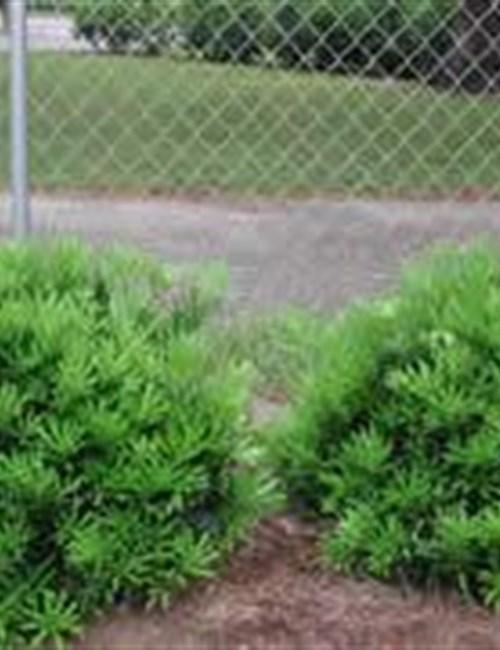 Podocarpus Pringles Dwarf Podocarpus macrophyllus 'Pringilii'