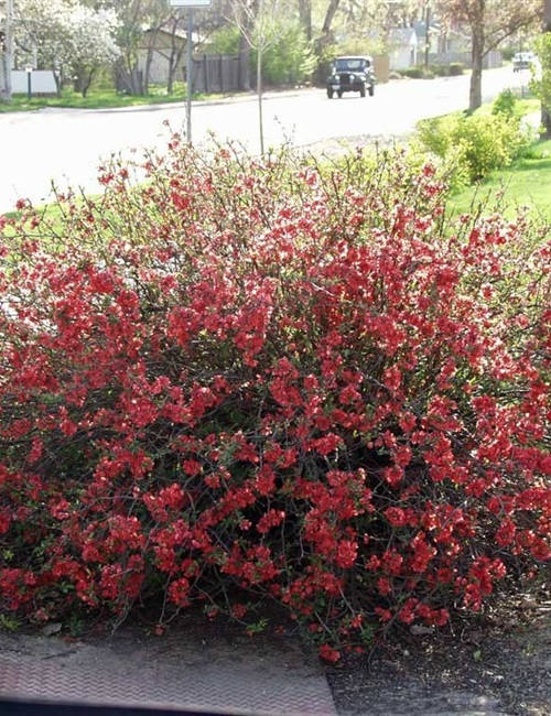 Quince Texas Scarlet Chaenomeles japonica 'Texas Scarlet'