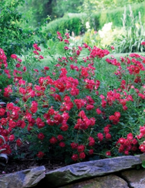 Rose Drift Red PP#17877 Rosa 'Meigalpio' PP#17877 - Red Drift