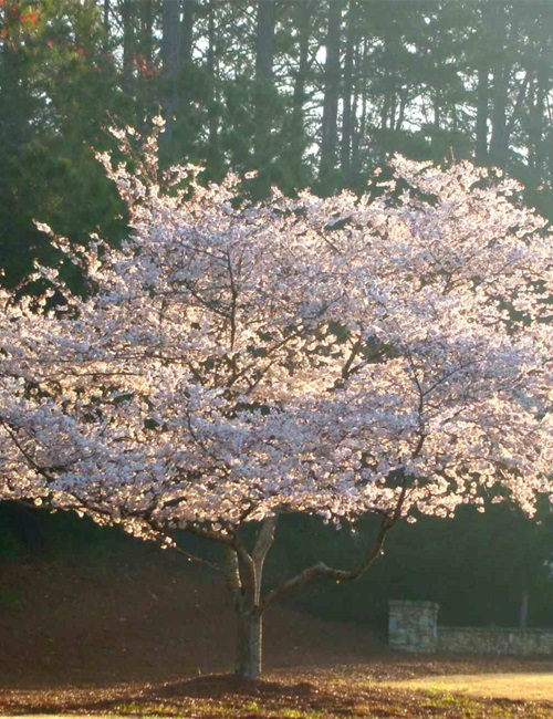 Cherry Yoshino Prunus x  yedoensis