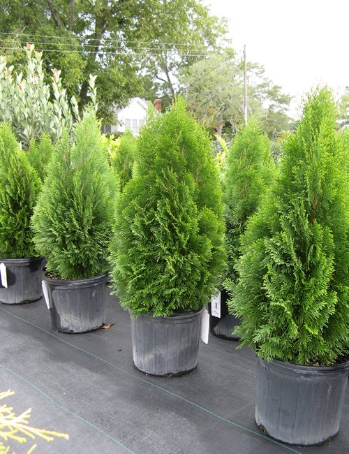Arborvitae Emerald Thuja occidentalis 'Emerald'