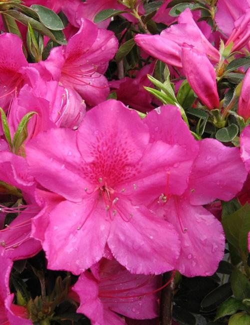 Azalea Formosa Rhododendron 'Formosa'