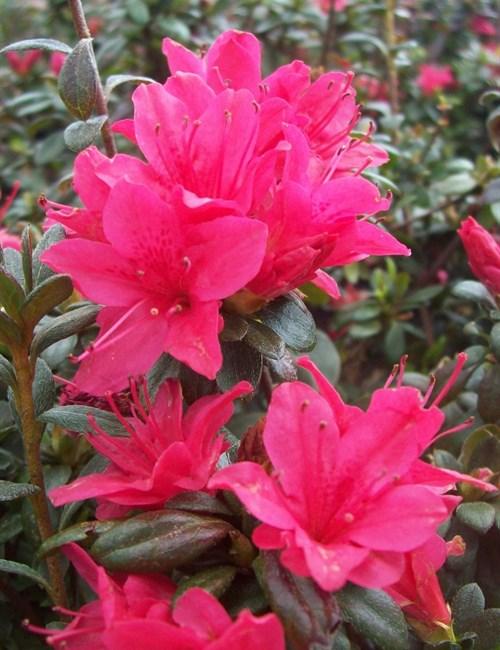 Azalea Hino Crimson Rhododendron 'Hino Crimson'