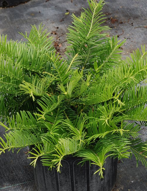 Cephalotaxus Prostrata Cephalotaxus harringtonia 'Prostrata'