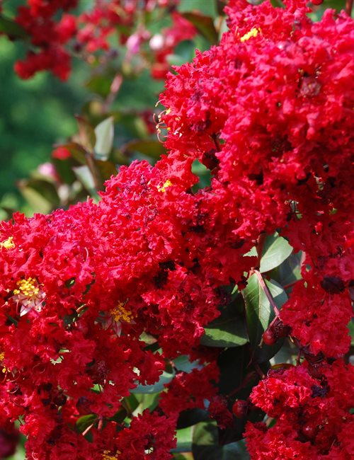 Crape Myrtle Dynamite PP#10296 Lagerstroemia indica 'Dynamite' PP#10296