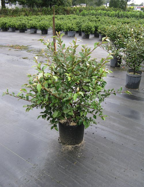Elaeagnus Fruitlandii Elaeagnus pungens 'Fruitlandii'