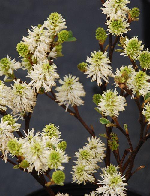 Fothergilla Dwarf Fothergilla gardenii