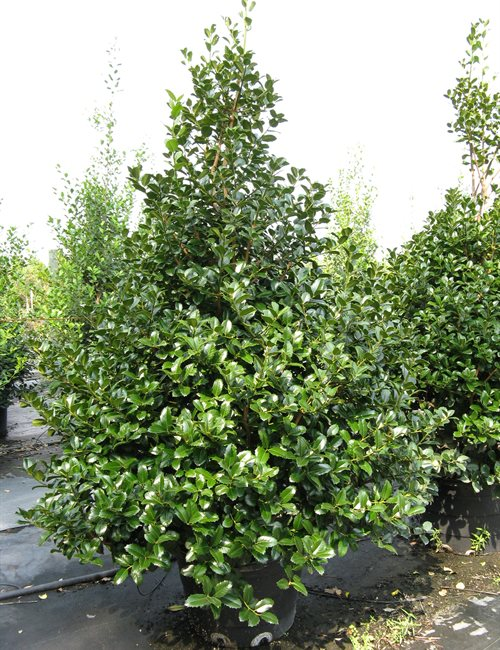 Emily Bruner Holly Ilex x 'Emily Bruner'