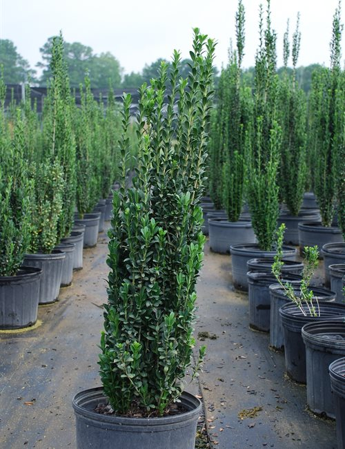 Holly Sky Pencil Ilex crenata 'Sky Pencil'