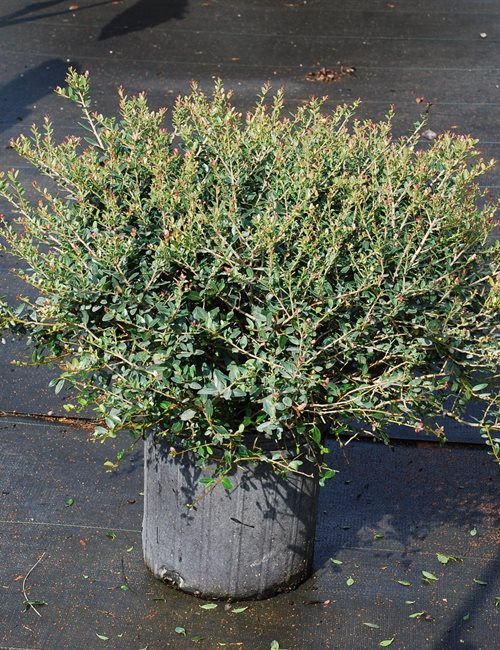 Holly Yaupon Dwarf Ilex vomitoria 'Shillings'