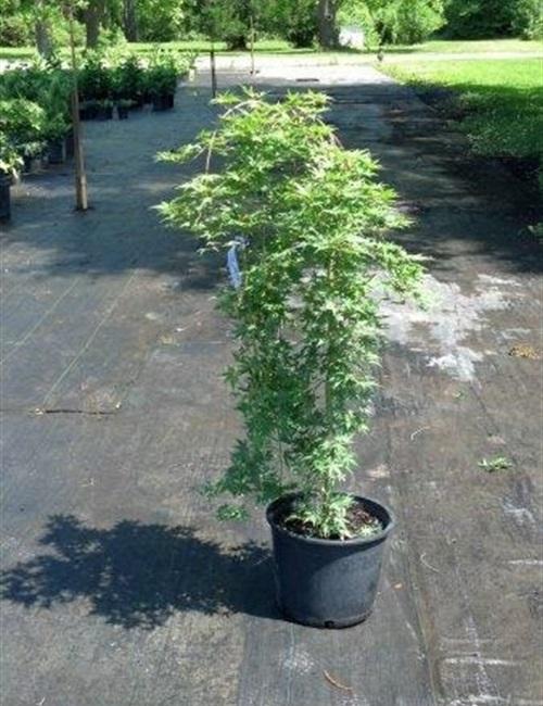 Maple - Japanese Ryusen Acer palmatum 'Ryusen'