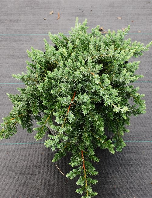 Juniper Blue Pacific Juniperus conferta 'Blue Pacific'