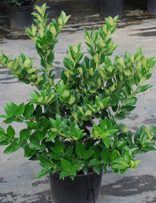 Ligustrum Japonica Ligustrum japonicum