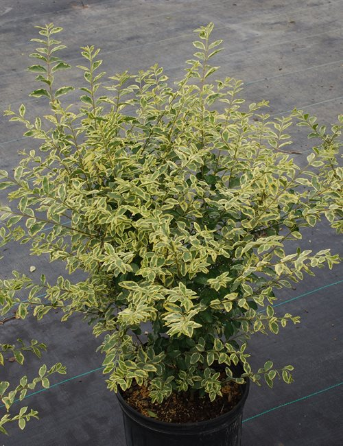 Ligustrum 'Swift Creek' Ligustrum sinense 'Swift Creek'