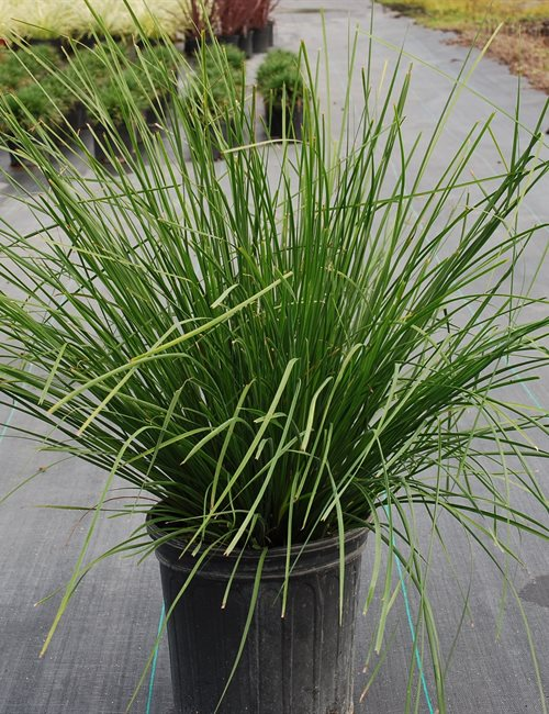 Lomandra Breeze Grass PP#15,420 Lomandra longifolia 'Breeze Grass' PP#15,420