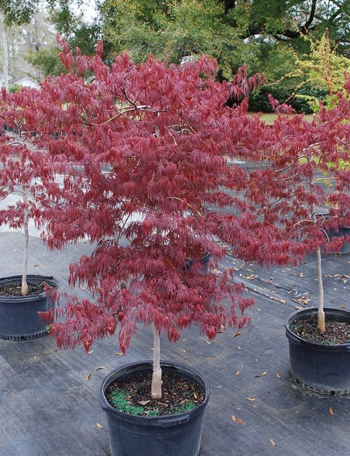 Maple Japanese Crimson Queen Acer palmatum var. dissectum 'Crimsom Queen'