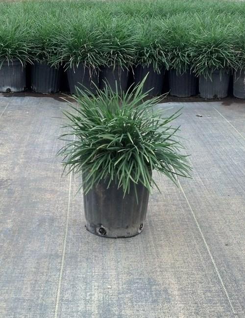 Mondo grass Ophiopogon japonicus