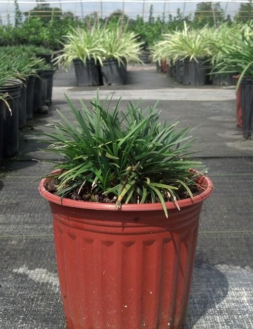 Mondo grass Dwarf Ophiopogon japonicus' Nana'