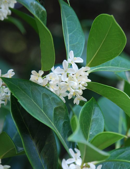 Osmanthus Fragrans Osmanthus fragrans