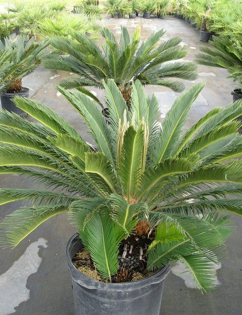 Palm King Sago Cycas revoluta