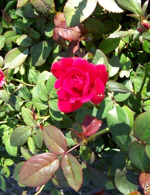 Rose Knock Out Double Red PP#16202 Rosa 'Radtko' PP#16202 Double Knock Out Rose